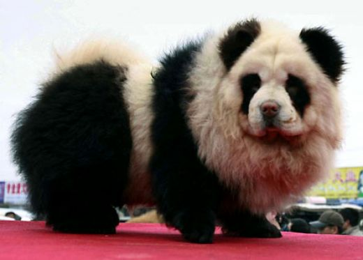 The following are puppies trimmed up and dyed to look like pandas!
